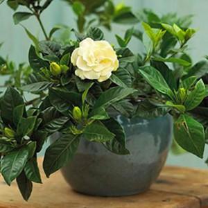 Feng Shui szobanövény