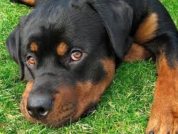 Rottweiler házőrző